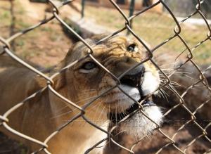 Львица злится!:-)