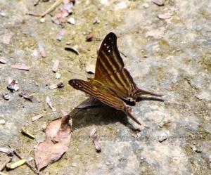 Мексиканская бабочка