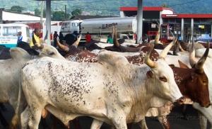 Африканские коровы