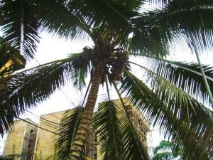 Городская пальма